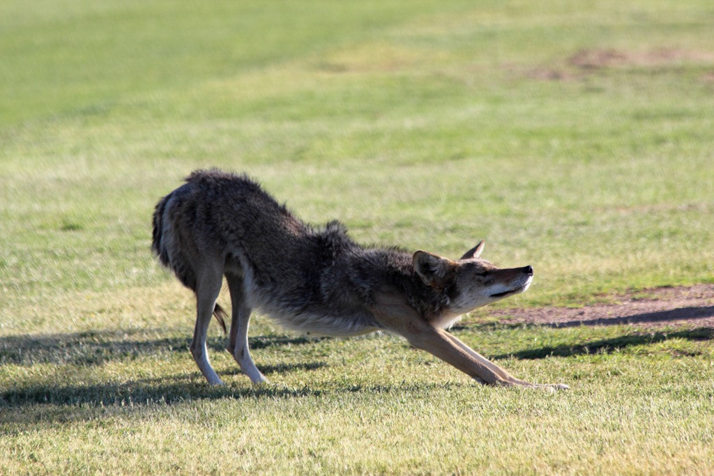The coyotes can jump a 6 foot fence at will they will hang around if